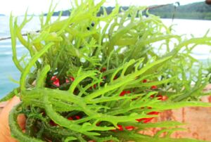 rumput laut sebagai biofuel